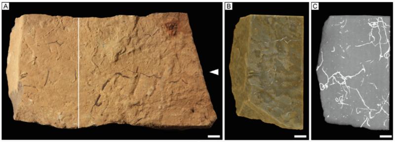 В Якутии обнаружили тоннели возрастом 540 млн лет, прорытые древними микроорганизмами