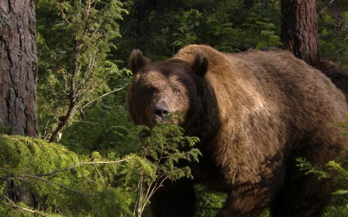1458745187150864260-696x435 В Кобяйском улусе на молодого оленевода напал медведь