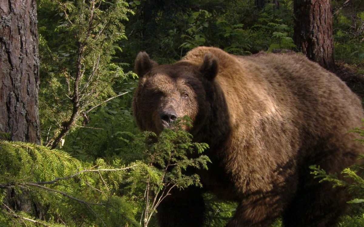 В селе Крест-Хальджай Томпонского района медведь напал на телят