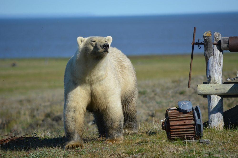 Минэкологии Якутии: белый медведь в Верхоянском улусе не обнаружен