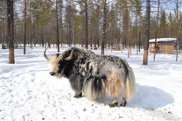 227edf3590e628cbe5e9764c2a568355e9bc6bd0-630x420 Природный парк Мирнинского района Якутии пополнился овцебыками и лосятами