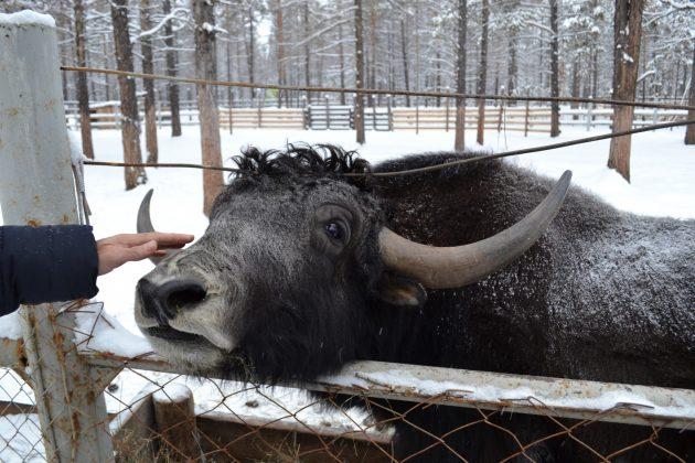65f75c4440a4731e4313c75dfef75498ce247913-630x420 Природный парк Мирнинского района Якутии пополнился овцебыками и лосятами