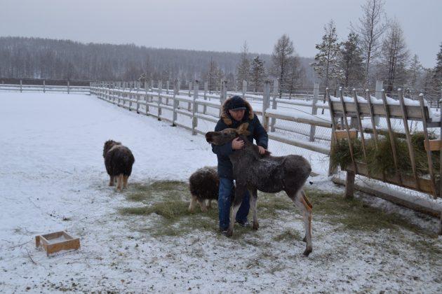 b1e3aebd06f2ec45d6982bcf9d172628911ad724-630x420 Природный парк Мирнинского района Якутии пополнился овцебыками и лосятами
