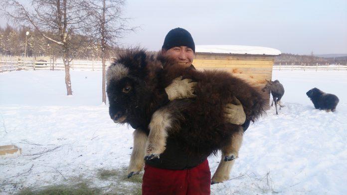 c8e60af5e7a5648026c336ade42fbd5e030f0e9f-696x391 Природный парк Мирнинского района Якутии пополнился овцебыками и лосятами