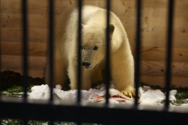 6-1-630x420 Внучка вернулась к бабушке: Хаарчаану официально передали Ленинградскому зоопарку