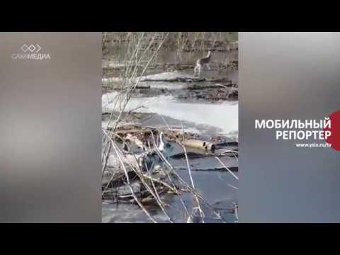 Мобильный репортер: Стая зайцев оказалась в водной западне
