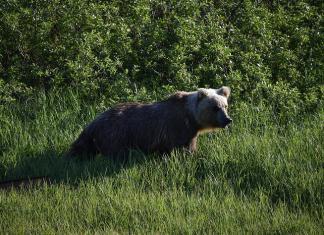 Детский лагерь в Алданском районе взяли под круглосуточное наблюдение после визита медведей