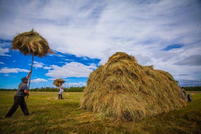 В Якутии заготовили 10 процентов сена