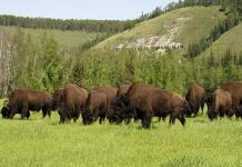 Айсен Николаев предложил внести лесного бизона в список редких и исчезающих животных России