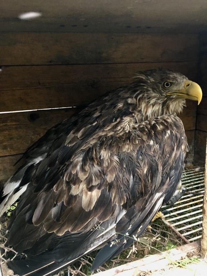 В Нижнеколымском районе спасли орлана-белохвоста