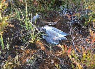 В озере Байбал күөлэ, где погибли птенцы чаек, превышено содержание формальдегида