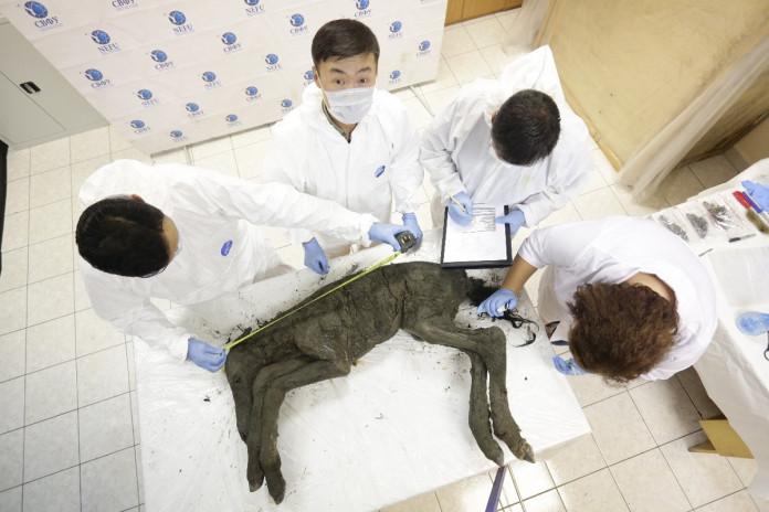 Ученые СВФУ презентовали найденную тушу древнего жеребенка