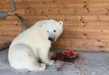 В Ленинградском зоопарке белая медведица Хаарчаана открыла сезон арбузов