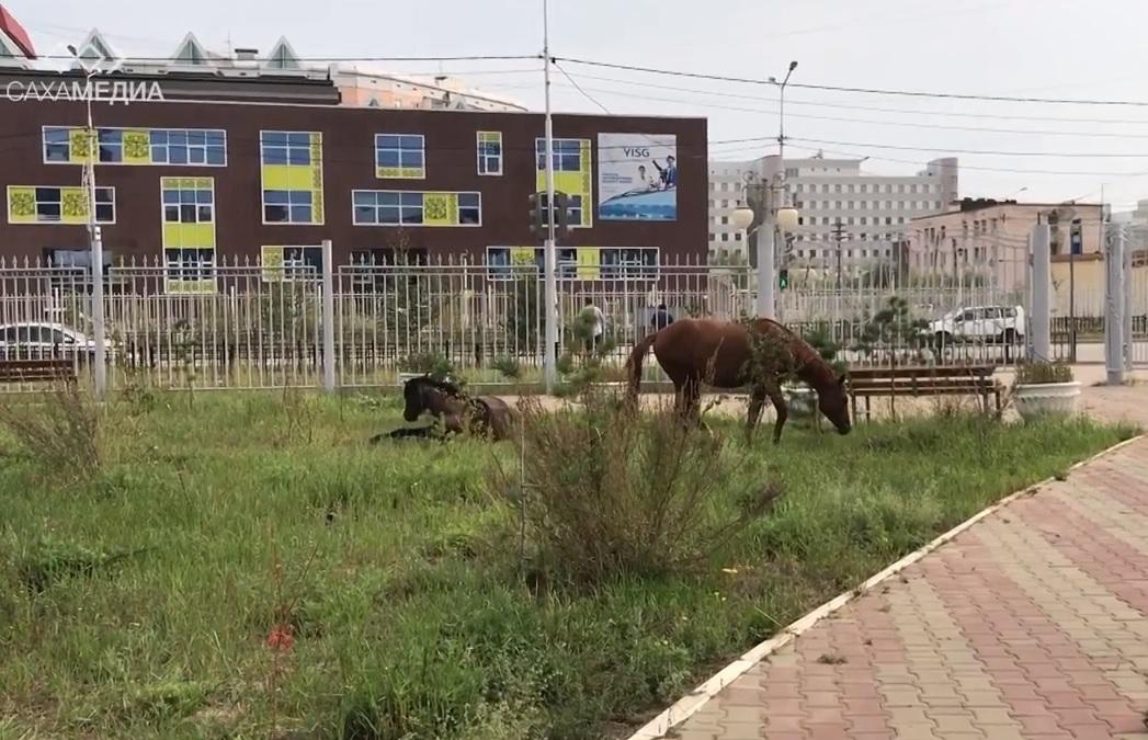 Бродячие лошади в Якутске: Как избавить город от нашествия животных