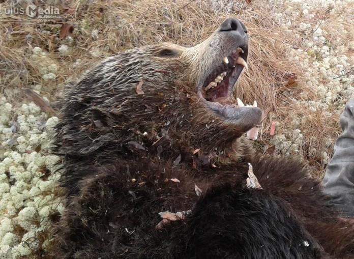 Оленеводы Верхнеколымского района, чтобы сберечь стадо, пристрелили семь медведей