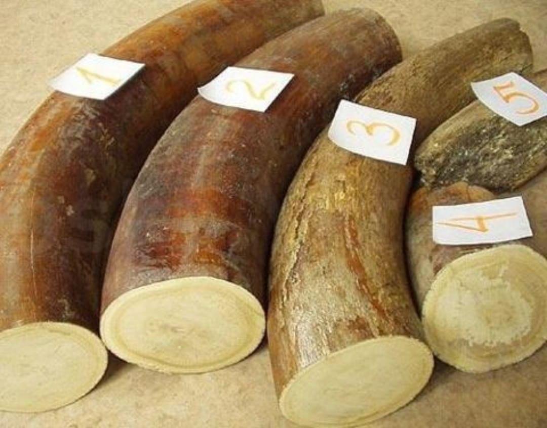 Якутия организует на ВЭФ первые публичные торги по продаже мамонтовой кости