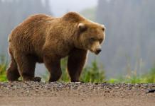В Абыйском районе женщина пострадала от медведя