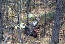Лося, запутавшегося в оптоволокне, убили браконьеры