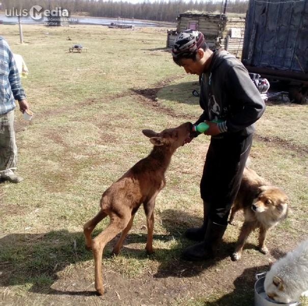 Жители села Алысардах приютили осиротевшего лосенка