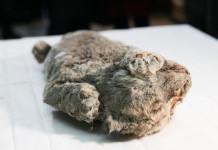 В Якутии нашли еще одного пещерного львенка