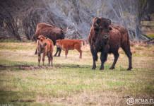 """Лесной бизон, обитающий в Якутии, может попасть в """"Красную книгу России"""""""
