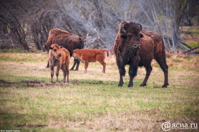 Лесной бизон, обитающий в Якутии, может попасть в
