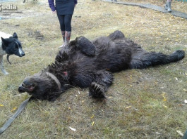 В Абыйском улусе добыт медведь, который держал в страхе несколько дней жителей