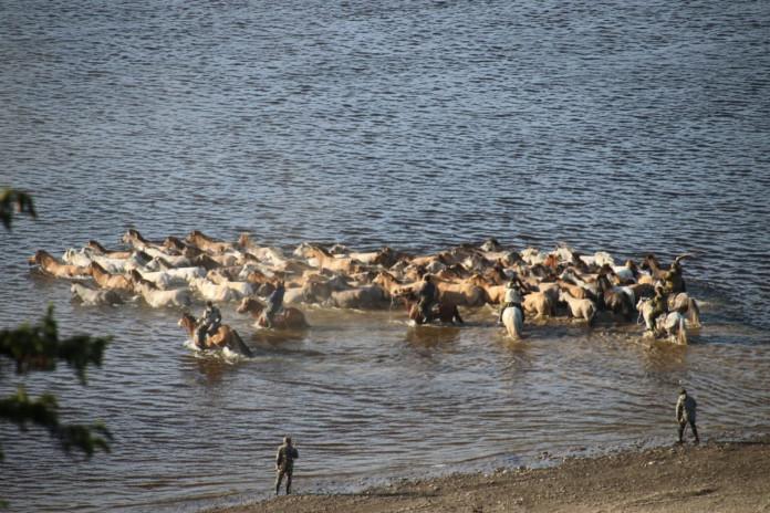 Табун лошадей через Лену переправляют в селе Улахан-Ан Хангаласского района