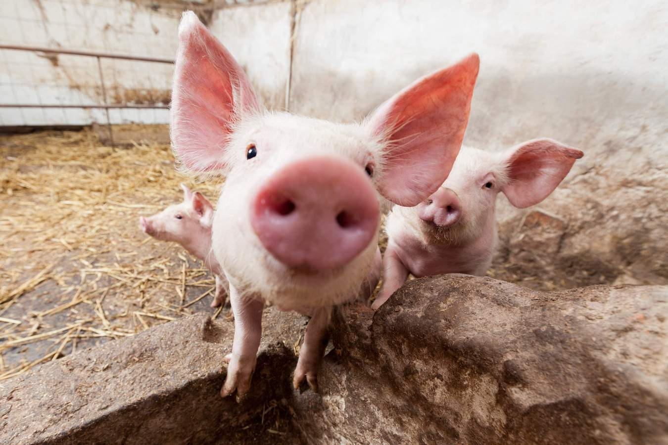 Россельхознадзор не обнаружил в Якутии африканскую чуму свиней