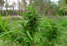 У жителя Амгинского района изъяли около двух килограммов марихуаны
