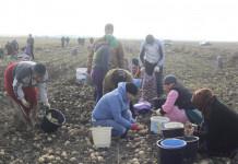 Якутян приглашают в Маган на сбор картофеля
