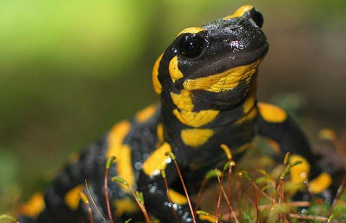 Ранее неизвестную саламандру нашли в Якутии российские и немецкие палеонтологи