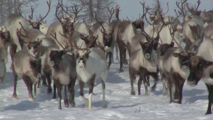 В ГоскомАрктики подсчитали численность северных оленей