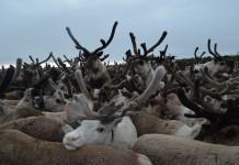 На зимние пастбища вышли оленеводческие стада