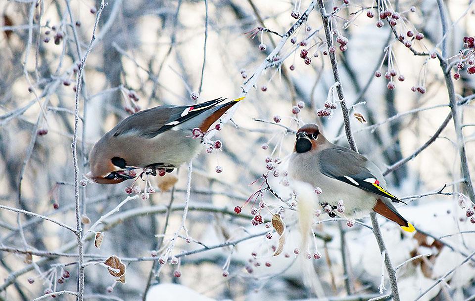 Птицы зимующие в спб фото