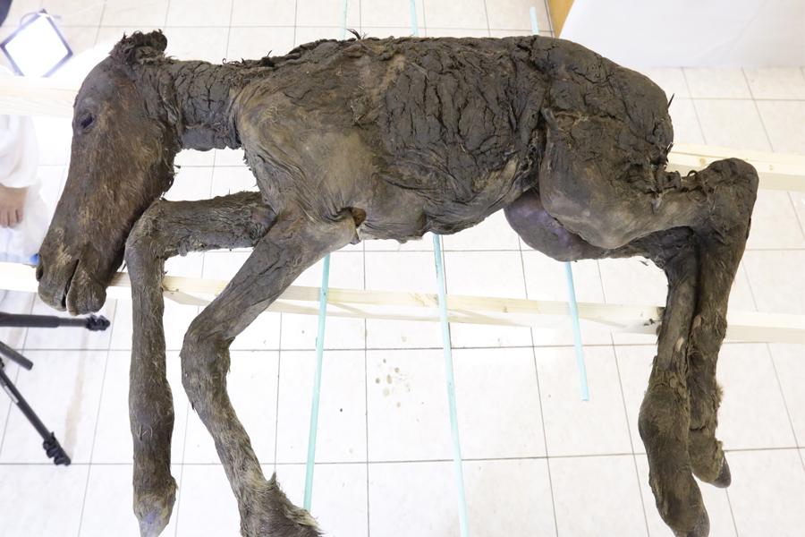 Жеребёнка древней лошади исследовали в СВФУ учёные Якутии и Кореи