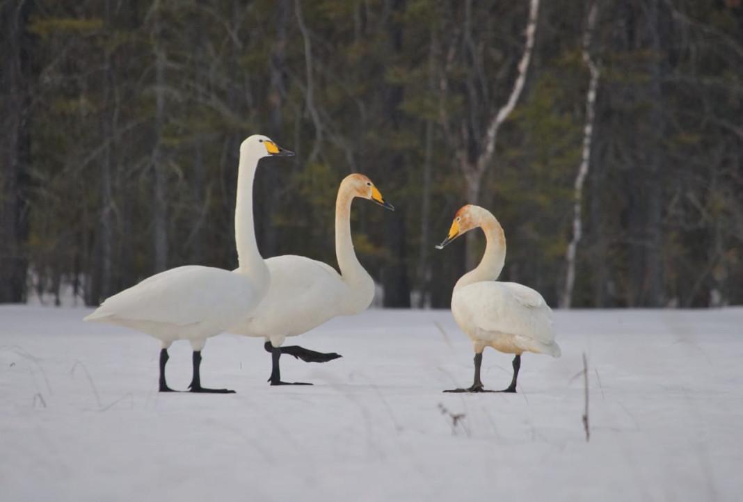 Первые лебеди прилетели в Якутию