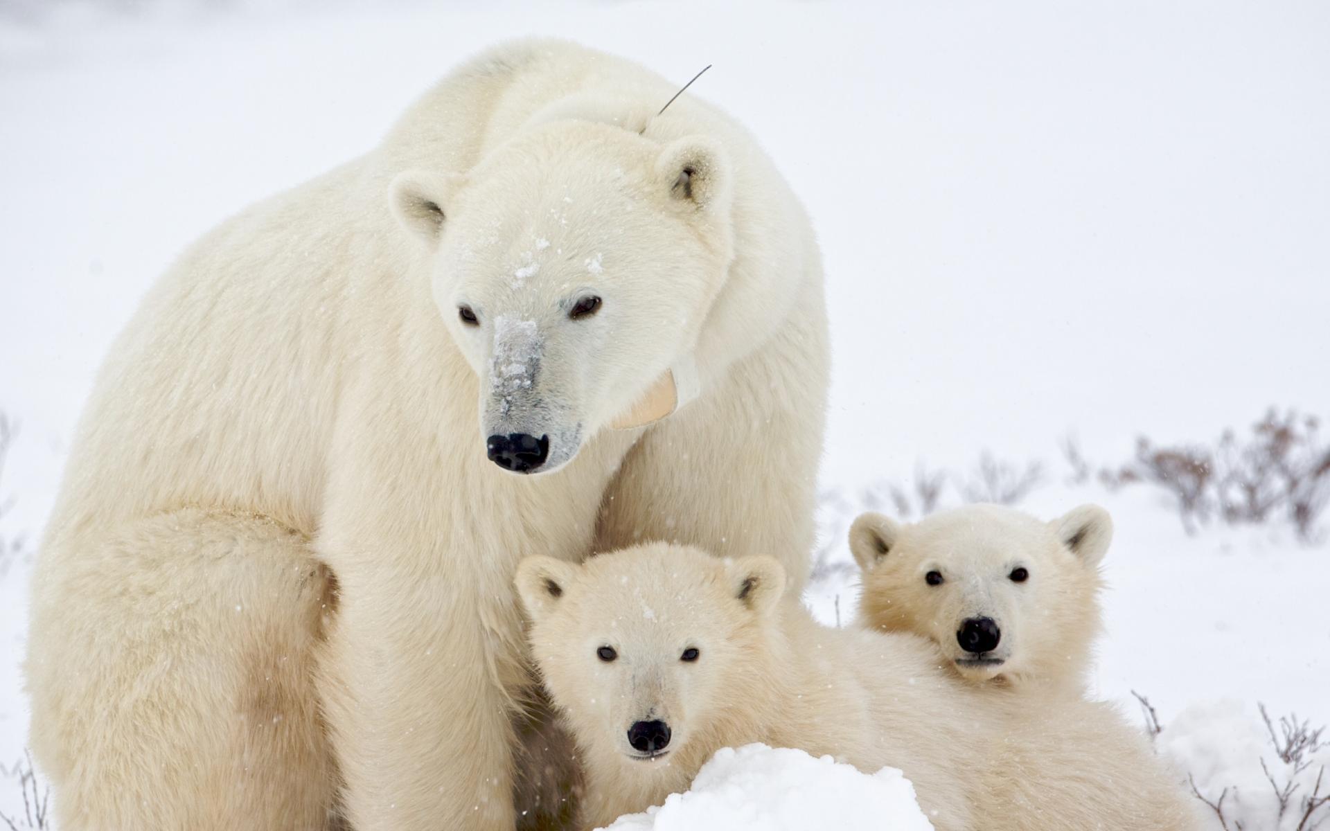 Белые медведи начали усиленно размножаться в Якутии