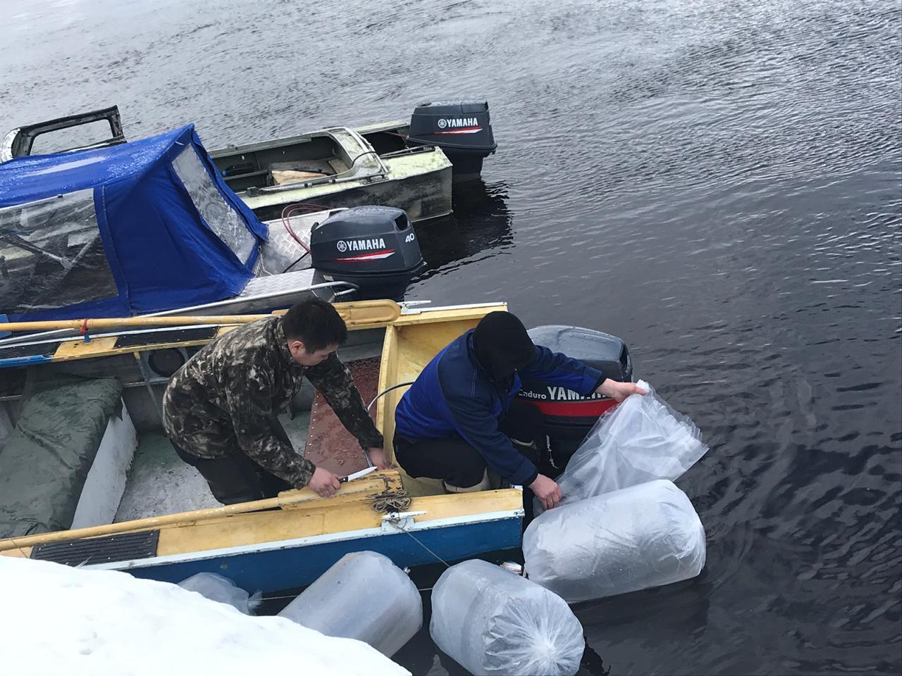 В реку Вилюй выпустили 500 тысяч личинок ряпушки