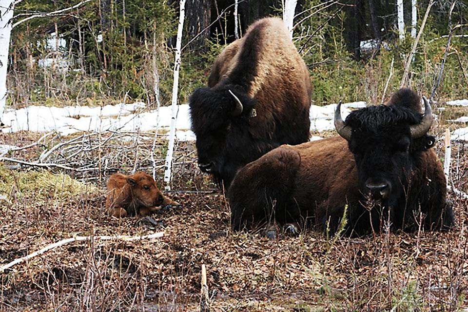 21 бизоненок родился в Якутии с начала апреля