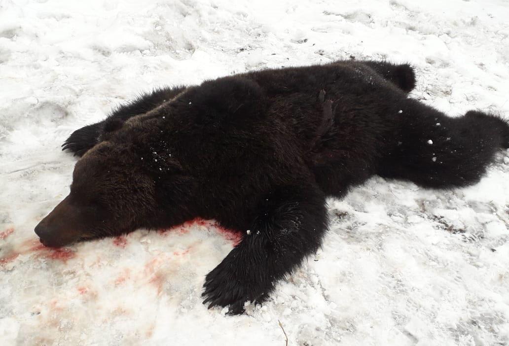 Охотники убили медведя, нагнавшего страх на Вилюйский район