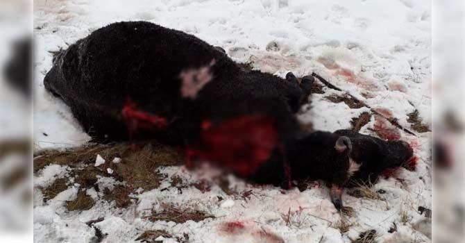 В Вилюйском районе медведь загрыз коров в 5 км от поселения. Есть риск нового нападения