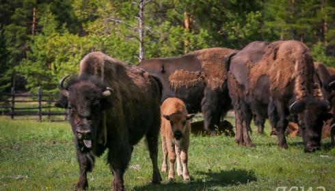 Стадо бизонов-пионеров насчитывало 30 голов: поровну быков и самок. Специалистам было важно понять, смогут ли бизоны акклиматизироваться в суровом якутском климате, переживут ли они холодные зимы.