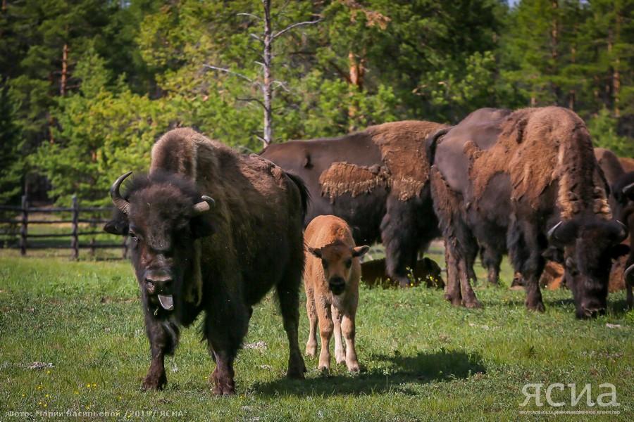 """Фоторепортаж: В """"Усть-Буотаме"""" на свет появилось еще одно поколение лесных бизонов"""