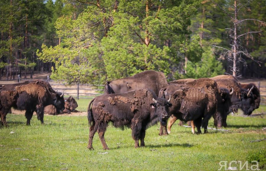 Лесных бизонов занесут в Красную книгу Якутии
