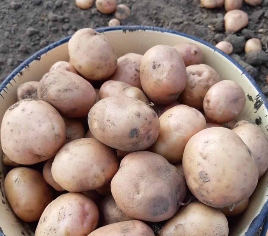 Картофель иркутянка описание сорта фото