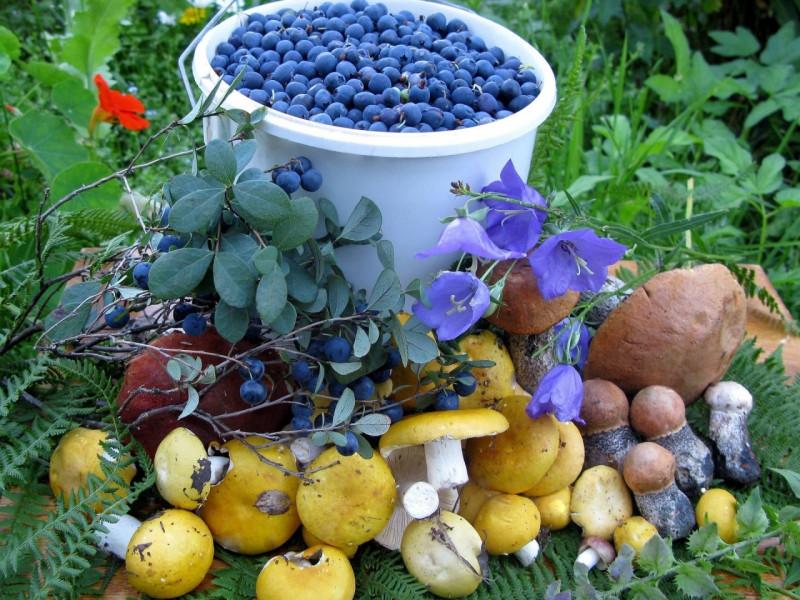 Собранные в лесу грибы и ягоды можно будет продать государству