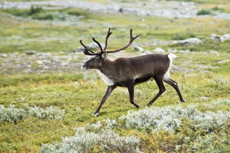 Ученые бьют тревогу. Енисейские дикие олени на грани исчезновения