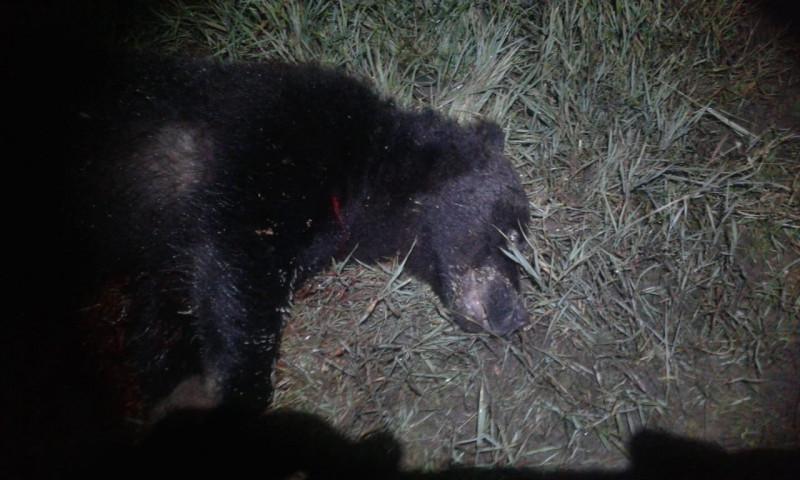 Браконьеры поневоле. В Якутии предлагают внести изменения в нормативные акты по отстрелу медведей