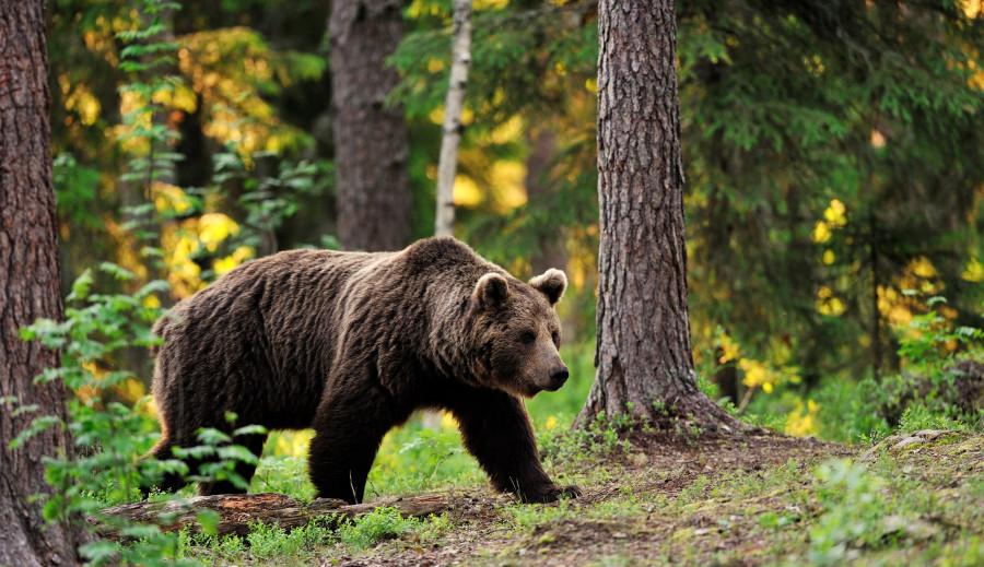 В поселке Белая Гора Абыйского района ликвидировали двух медведей
